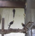 Les perruches calopsittes