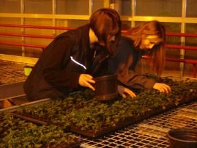 Tri des géranium lierres, 1 mois après leur bouturage