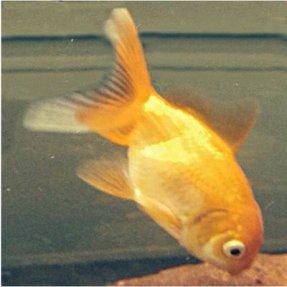 poisson rouge - carassius auratus