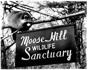 raccoon at sign 1958