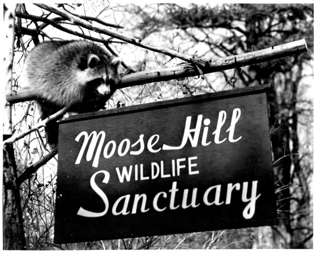raccoon at sign 1958