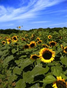 sunflower field edited