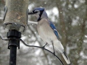 blue jay at feeder 3_21_16A