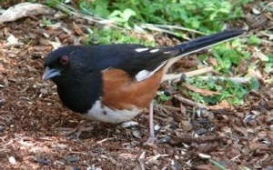 Eastern Towhee (rufous-sided towhee)