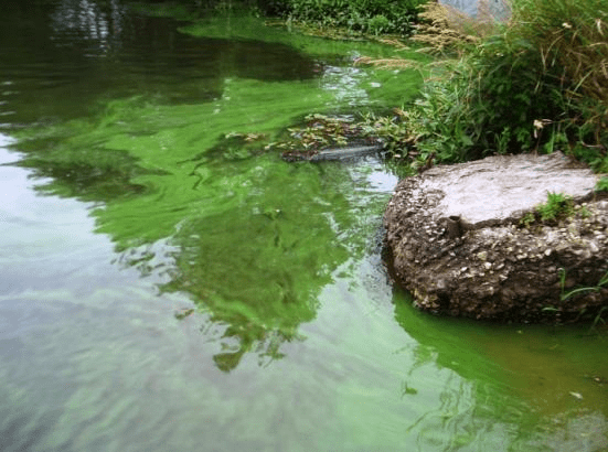 Example of an algal bloom. Photo credit: MA Department of Environmental Protection