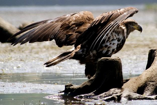 Bald eagle © Robert DesRosiers