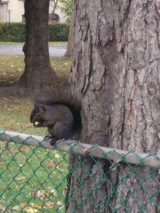 Black Squirrel at the Atwater/Sherbrooke SE intersection.