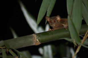 Koboldmaki im indonesischen Regenwald - Foto: NABU/. Kirschey