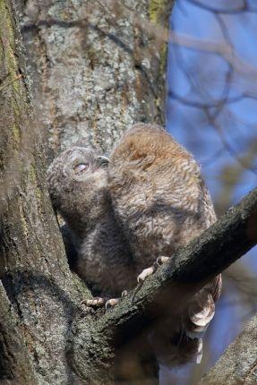 Zwei Waldkauz-Ästlinge schmiegen sich aneinander.