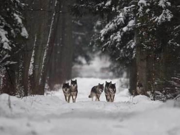 Wölfe im Bialowieza Urwald. Foto: Adam Wajrak (UNESCO media service)