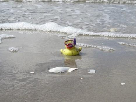Pseudoanas lavans am Strand von Trischen - die Tiere bevorzugen eigentlich schaumiges und deutlich wärmere Gewässer
