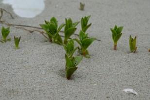 Salzmiere (Honckenya peploides)