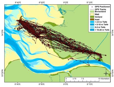 Der GPS-Logger übermittelt punktgenaue Positionsdaten. Dargestellt ist die Flugroute einer Silbermöwe bis zum 31.7.16 ( Daten FTZ Büsum)
