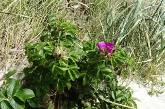 Kartoffel- oder Friesenrose (Rosa rugosa)