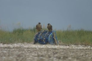 Junge Wanderfalken (Falco peregrinus) auf Hummerkorb (Foto: Tore J. Mayland-Quellhorst).