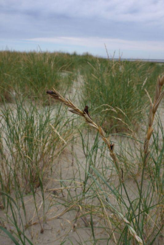Mutterkorn auf Strandquecke (Foto: Tore J. Mayland-Quellhorst).