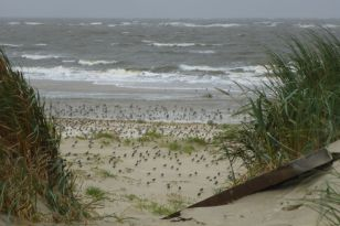 Rastvögel am Strand bei Sturm (Foto: Tore J. Mayland-Quellhorst).