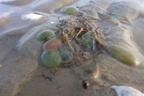 Schleimige Kugeln im Watt, grün: Laichballen eines Blattwurms (Phyllodoce mucosa), rot: Laichballen des Bewehrten Pfahlwurms (Scoloplos armiger, Foto: Tore J. Mayland-Quellhorst).
