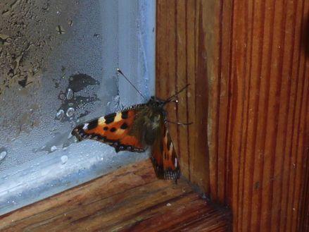 Kleiner Fuchs (Aglais urticae) hat in der Hütte überwintert (Foto: Tore J. Mayland-Quellhorst).