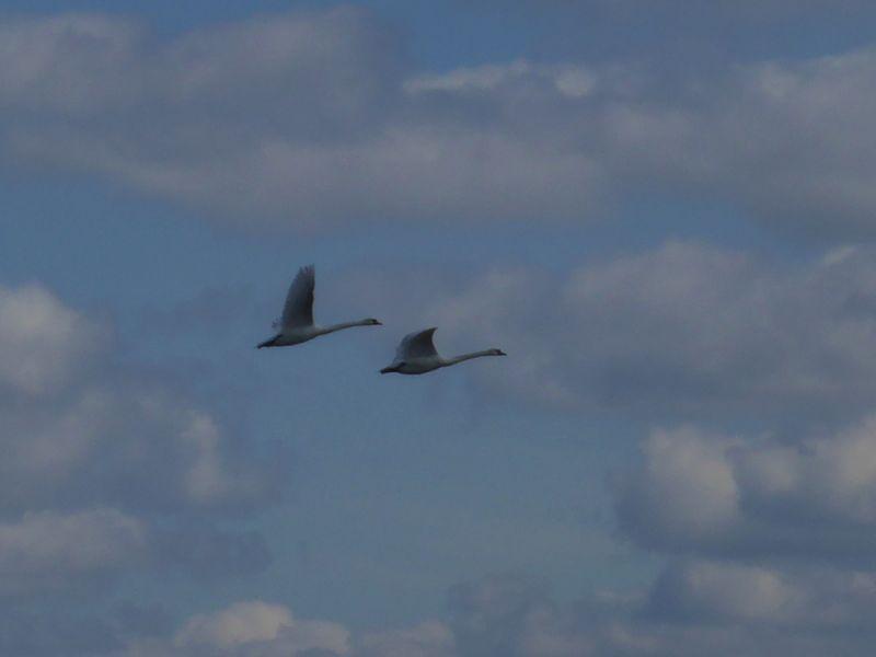 Ein Höckerschwan-Paar (Cygnus olor) fliegt über Trischen (Foto: Tore J. Mayland-Quellhorst).