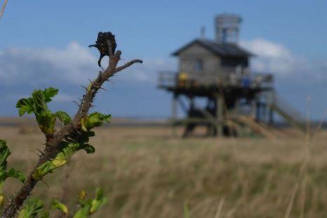 Kartoffelrose (Rosa rugosa) treibt neue Blätter (Foto: Tore J. Mayland-Quellhorst).