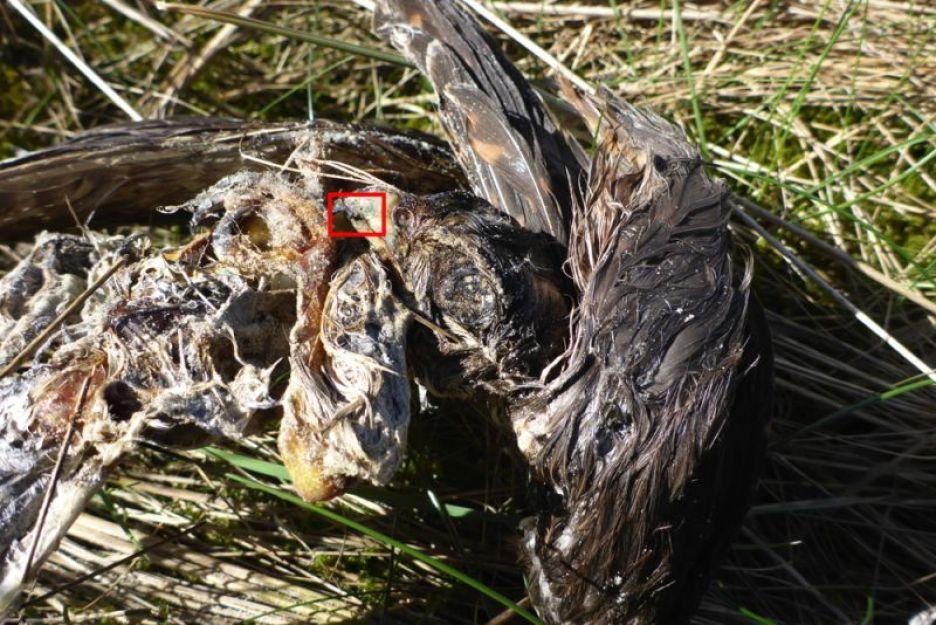 Toter Merlin (Falco columbarius) auf Trischen (Foto: Tore J. Mayland-Quellhorst).