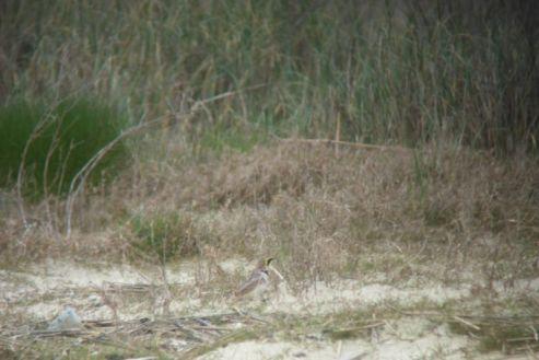 Suchbild mit Ohrenlerche (Eremophila alpestris). Kleiner Tipp: Mitte, unten (Foto: Tore J. Mayland-Quellhorst).