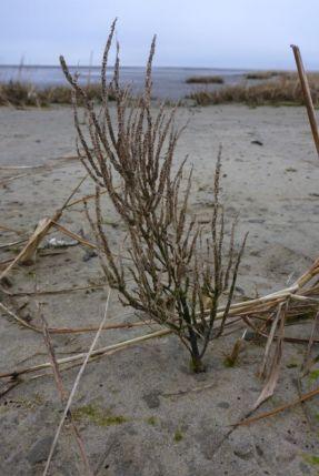 Alt und verdorrt: Queller (Salicornia) aus dem letzten Jahr (Foto: Tore J. Mayland-Quellhorst).