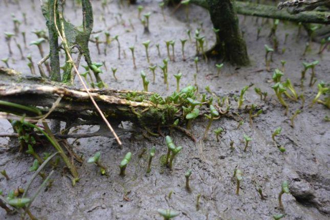 Noch klein, aber schon sukkulent: der Queller (Salicornia; Foto: Tore J. Mayland-Quellhorst).