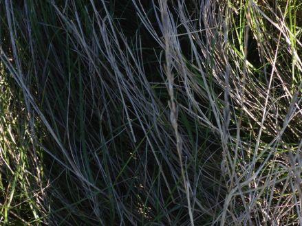 Hier muss es irgendwo sein: Rotschenkel-Nest gut versteckt unter Gras (Foto: Tore J. Mayland-Quellhorst).