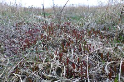 Der Strandflieder (Limonium vulgaris) treibt neue Blätter (Foto: Tore J. Mayland-Quellhorst).