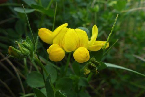 Gewöhnlicher Hornklee (Lotus corniculatus) leuchtend gelb (Foto: Tore J. Mayland-Quellhorst).
