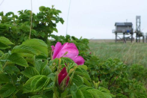 Rosa Kartoffelrose (Rosa rugosa; Foto: Tore J. Mayland-Quellhorst).