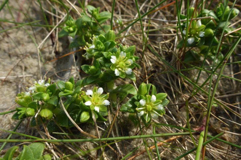 Weiß blühend und süß duftend: Salzmiere (Honckenya peploides; Foto: Tore J. Mayland-Quellhorst).