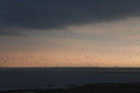 Brandgänse und Austernfischer fliegen vor Gewitter auf über Trischen (Foto: Tore J. Mayland-Quellhorst).