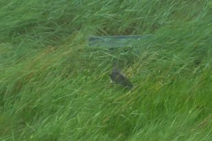Kuckuck (Cuculus canorus) im Regen (Foto: Tore J. Mayland-Quellhorst). (Foto: Tore J. Mayland-Quellhorst).