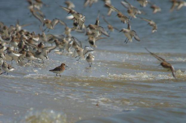 Ein Sanderling-Schwarm (Calidris alba) landet am Strand (Foto: Tore J. Mayland-Quellhorst).
