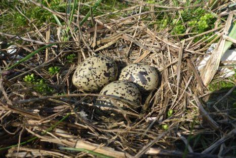 Kuhle mit Halmen ausgekleidet: Nest eines Austernfischers (Haematopus ostralegus) in der Düne (Foto: Tore J. Mayland-Quellhorst).