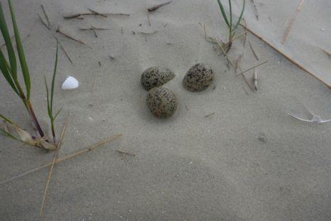 Fast vom Wind zugeweht: Nest eines Austernfischers (Haematopus ostralegus) am Strand (Foto: Tore J. Mayland-Quellhorst).