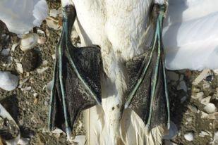Zehen eines Basstölpels (Morus bassanus) türkis hervorgehoben (Foto: Tore J. Mayland-Quellhorst).