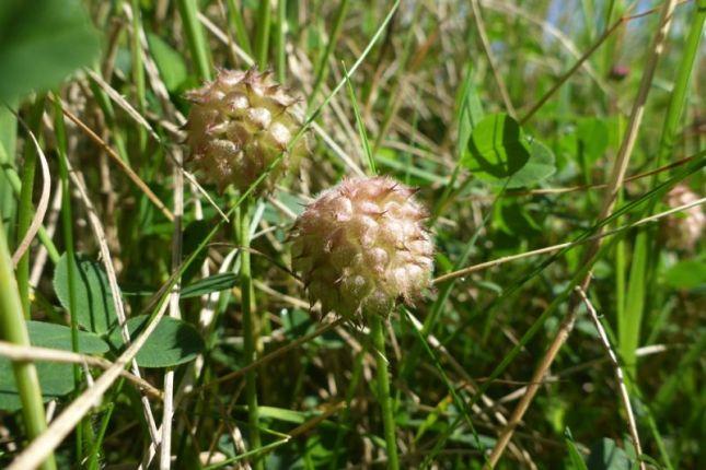 Fruchtstand vom Erdbeerklee (Trifolium fragiferum; Foto: Tore J. Mayland-Quellhorst).