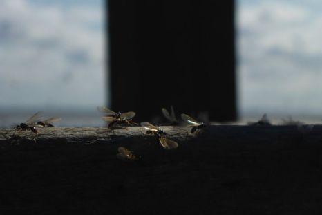 Ameisen auf Tisch (Foto: Tore J. Mayland-Quellhorst).