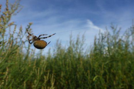 Vierfleckige Kreuzspinne (Araneus quadratus) huscht ins Versteck (Foto: Tore J. Mayland-Quellhorst).