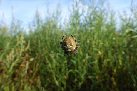 Vierfleckige Kreuzspinne (Araneus quadratus) hängt im Netz (Foto: Tore J. Mayland-Quellhorst).
