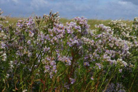 Strandastern (Aster tripolium) wiegen im Wind (Foto: Tore J. Mayland-Quellhorst).