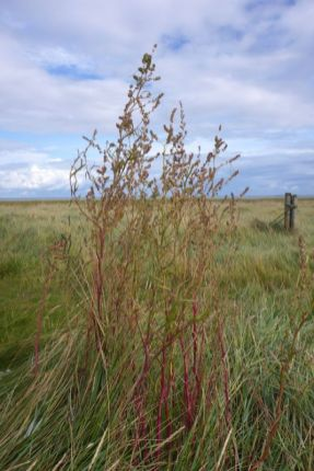 Strandmelde (Atriplex littoralis) wird rot (Foto: Tore J. Mayland-Quellhorst).