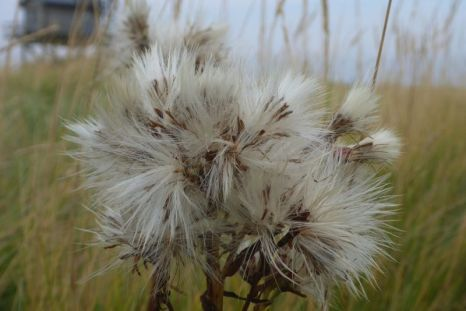 Pusteblume der Strandaster (Aster tripolium; Foto: Tore J. Mayland-Quellhorst).
