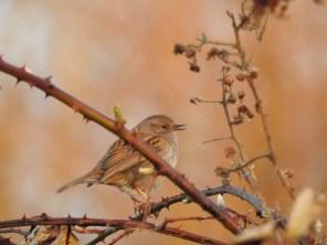 Heckenbraunelle (Prunella modularis) singt ihr Frühlingslied (Foto: Jonas Kotlarz)