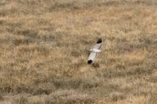 Eine männliche Kornweihe (Circus cyaneus) jagt über der Salzwiese (Foto: Jonas Kotlarz)