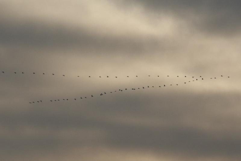 Kraniche (Grus grus) auf ihrem Weg in den Norden (Foto: Jonas Kotlarz)